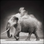 Elephant-With-Exploding-Dust--10inW-72