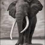 Elephant-on-Bare-Earth-10inW-72