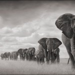 Elephants-Walkng-Through-Grass-18inW-72