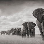 Elephants-Walkng-Through-Grass-18inW-glider